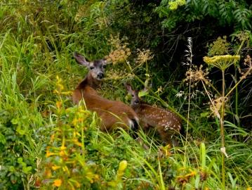 Deer at China Camp State Park