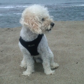 Oscar at Crissy Fields