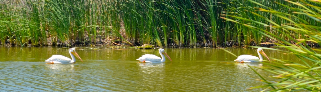 Shorline White Pelicans